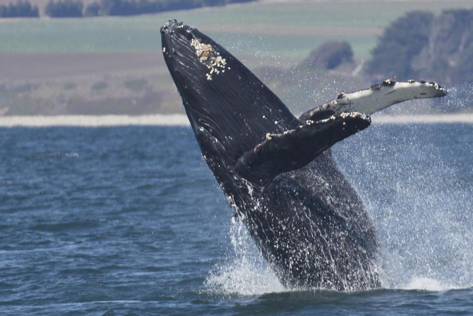 Monterey Bay-breaching-Humpback-whale