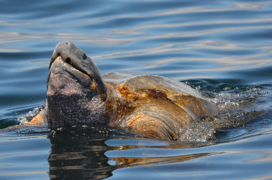 Monterey Bay Leatherback