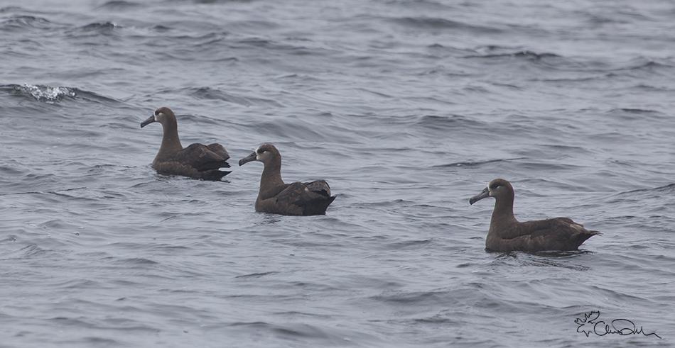 Monterey-Bay-Black-footed-albatross