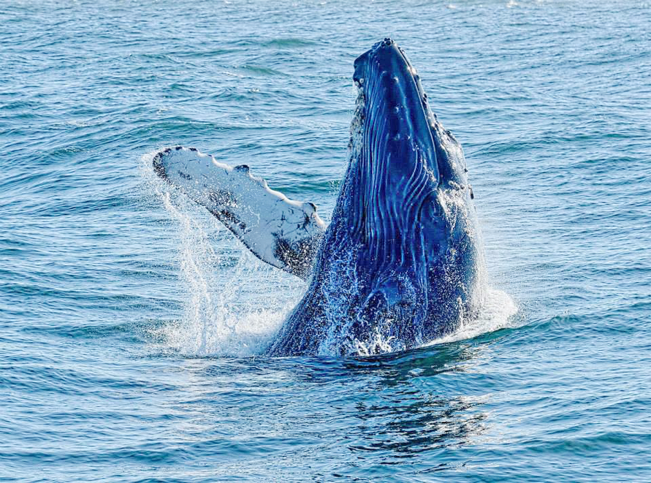 Moss Landing Humpback Whale Spy Hop